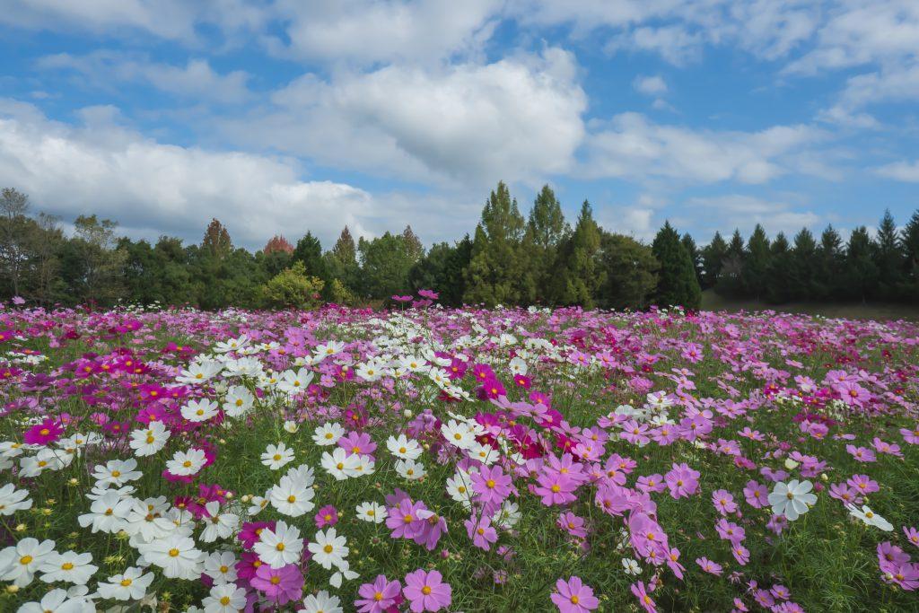 花の広場ーコスモスー