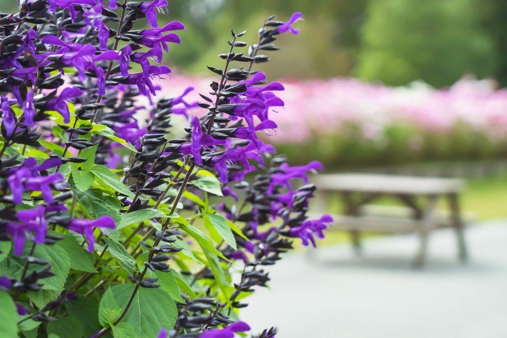 花の広場ーサルビアー