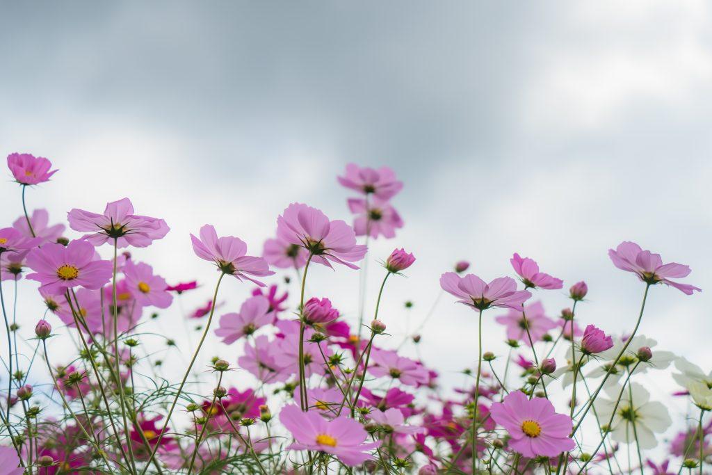 花の広場ーコスモス3ー
