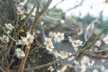 中区-縮景園の梅-