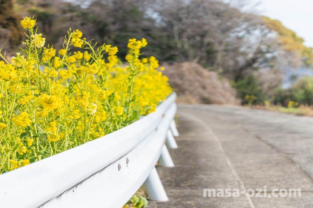 田尻町菜の花畑-昼撮影その1