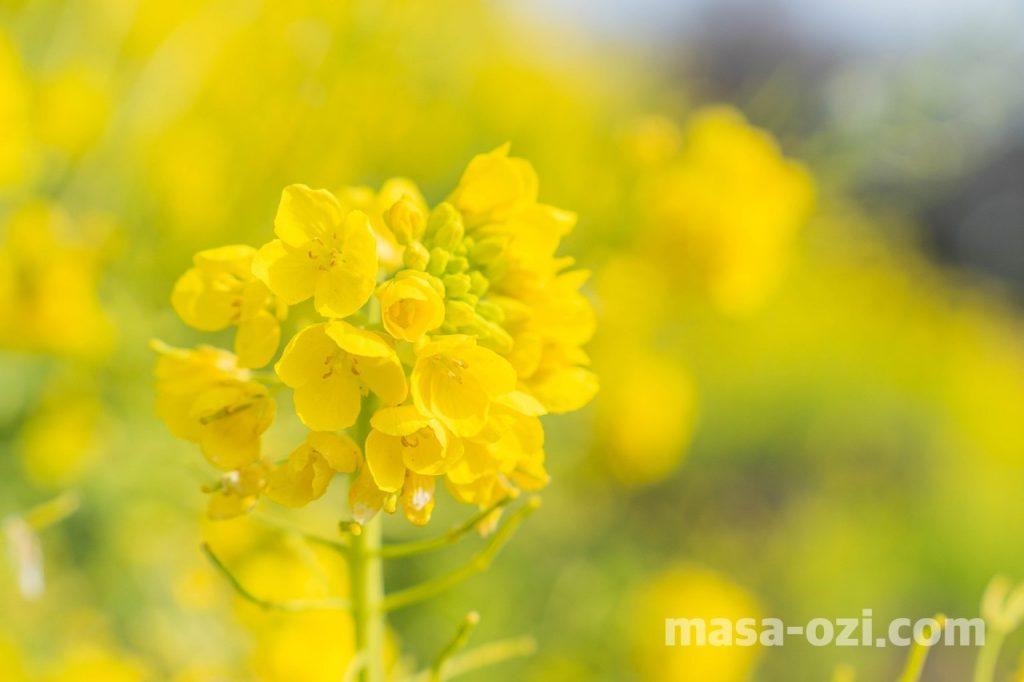 田尻町菜の花畑-昼撮影その3