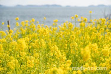 福山市-田尻町菜の花畑-