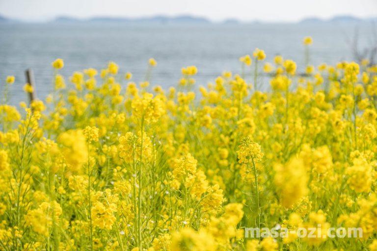 田尻町菜の花畑-昼撮影その4