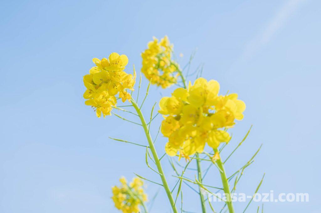 田尻町菜の花畑-昼撮影その16