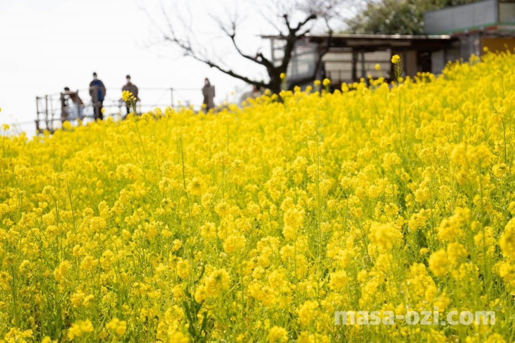田尻町菜の花畑-昼撮影その9