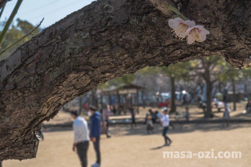 八木梅林公園-昼撮影その5