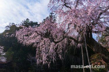 佐伯区-神原の枝垂れ桜-