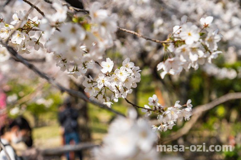 中区-縮景園-桜満開時-昼撮影その3