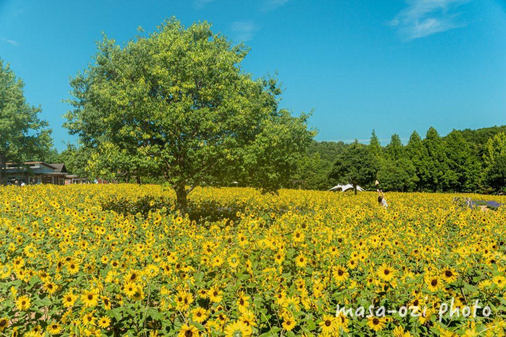 世羅高原農場2021-ひまわり-昼撮影その32