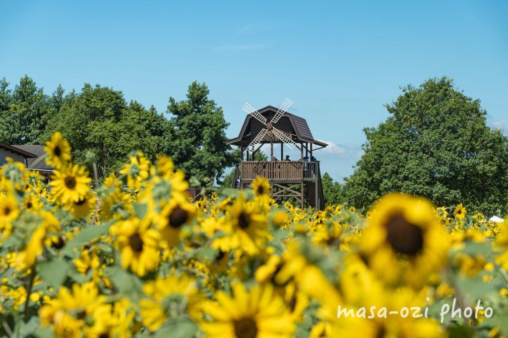 世羅高原農場2021-ひまわり-昼撮影その02