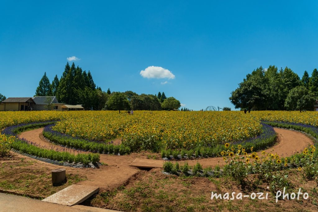 世羅高原農場2021-ひまわり-昼撮影その07