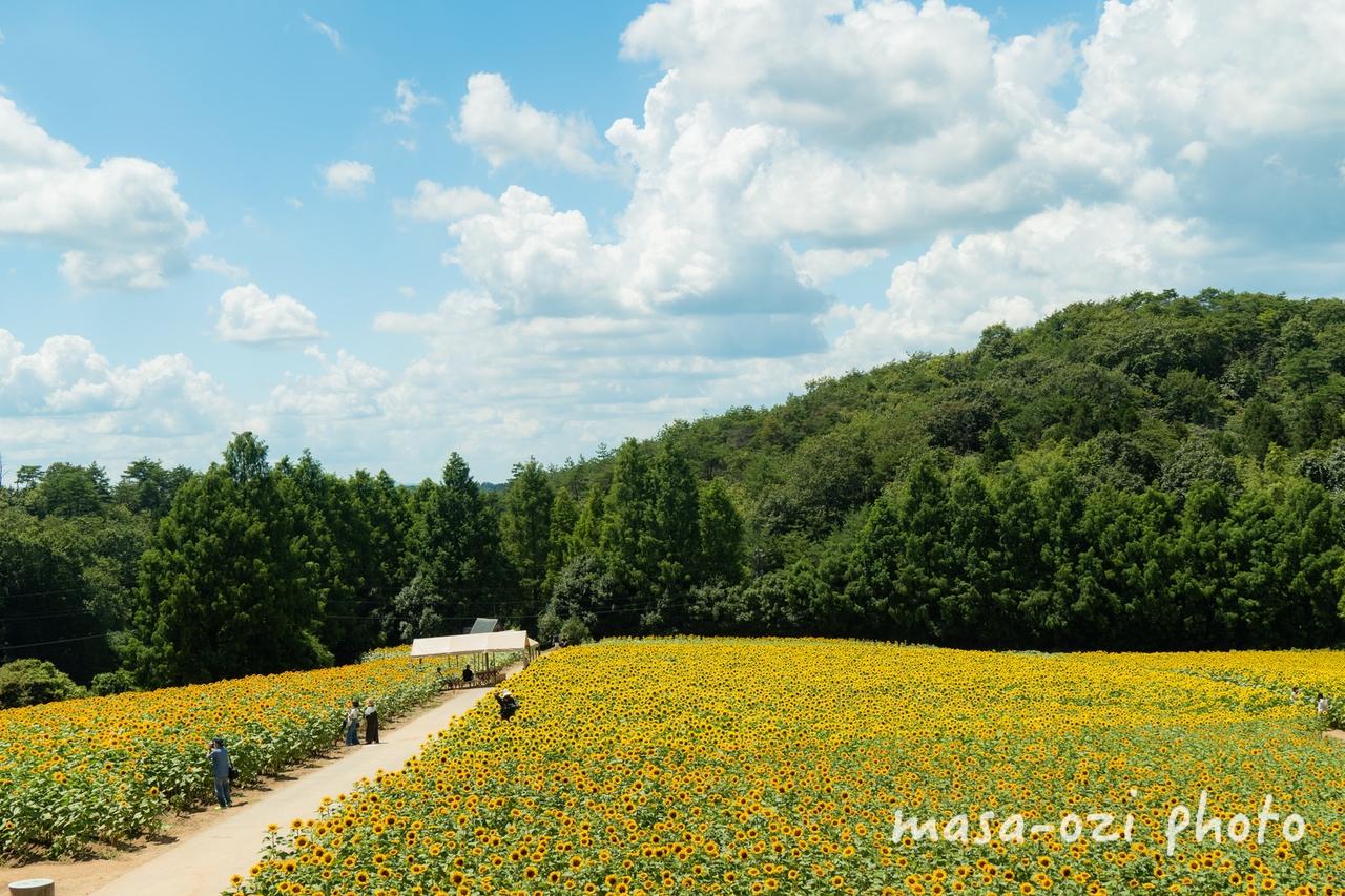 世羅高原農場2021-ひまわり-昼撮影その27